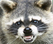 meancoon